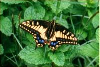 Yellow butterfly by David Arv Bragi
